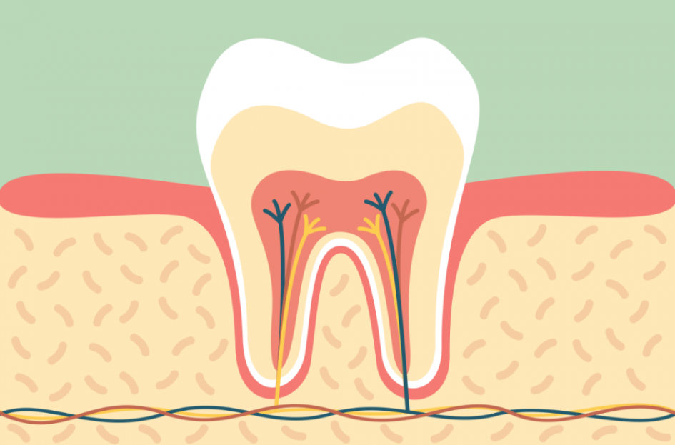 The Anatomy Of The Tooth | Pediatric Dentistry of Suffolk County